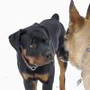 EUBIE & ZOE (shepherd)