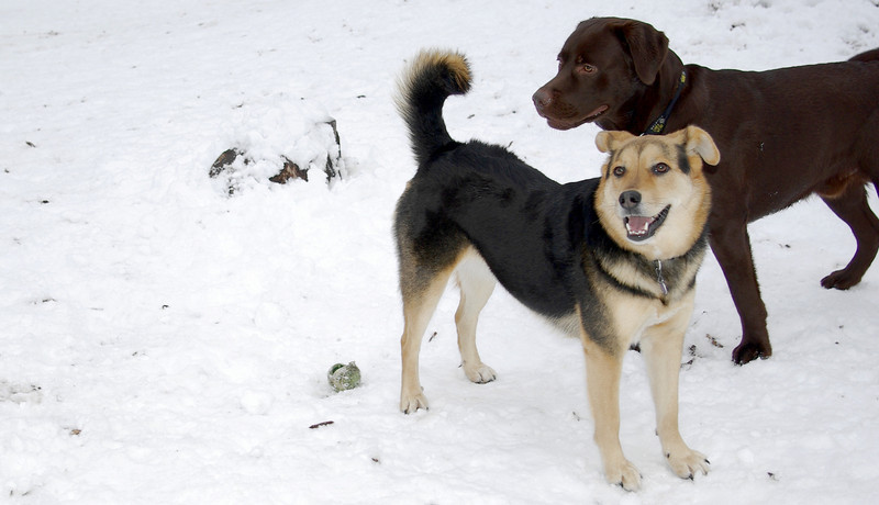 MADDIE, CHIEF (chocolate lab pup)