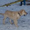HAZEL (golden retriever puppy)