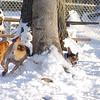 BOGIE (rat terrier pup)