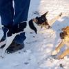 BOGIE (rat terrier pup), DOLCE (wonder dog