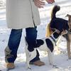 BOGIE (rat terrier pup), MADDIE.