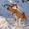BOGIE (rat terrier pup), CHLOE (basengi)