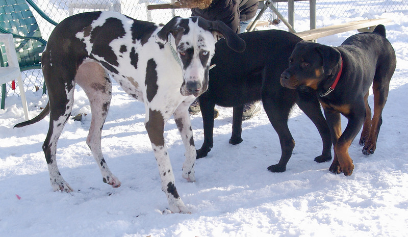 WILMA (Harlequin Dane) & EUBIE (rottweiler  pup)