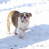 ROCCO (bulldog, first time)