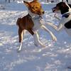 BOGIE (rat terrier pup), CHLOE (basengi) 2