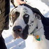 WILMA (great dane, 1st time)