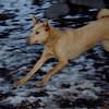 CHARLIE (dingo boy) 3