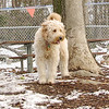 LUCY (goldendoodle)
