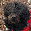 MOBY (portuguese water dog) 6