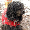 MOBY (portuguese water dog) 2