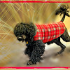 MOBY (portuguese water dog) 5
