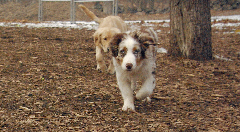 HAZEL (new pup) (golden), MAVERICK
