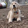 HAZEL (new pup) (golden) 7