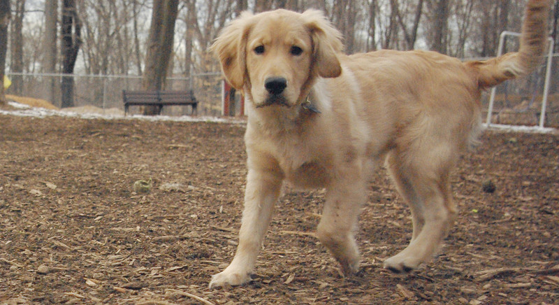 HAZEL (new pup) (golden) 4