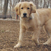 HAZEL (new pup) (golden) 4