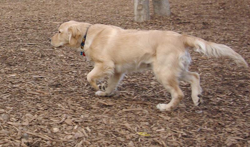 HAZEL (new pup) (golden) 2