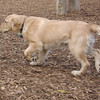 HAZEL (new pup) (golden) 2