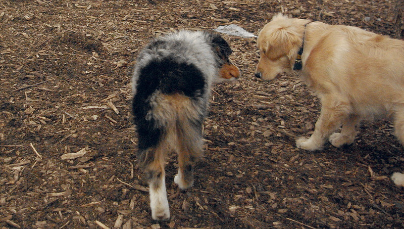 HAZEL (new pup) (golden), MAIA.