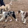MAIA & Maverick (aussie pups) , Hazel