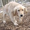 HAZEL (new pup) (golden)