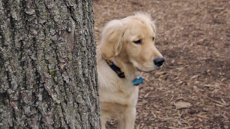 HAZEL (new pup) (golden) 6