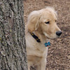 HAZEL (new pup) (golden) 6