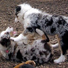 MAVERICK & MAIA (aussie pups)