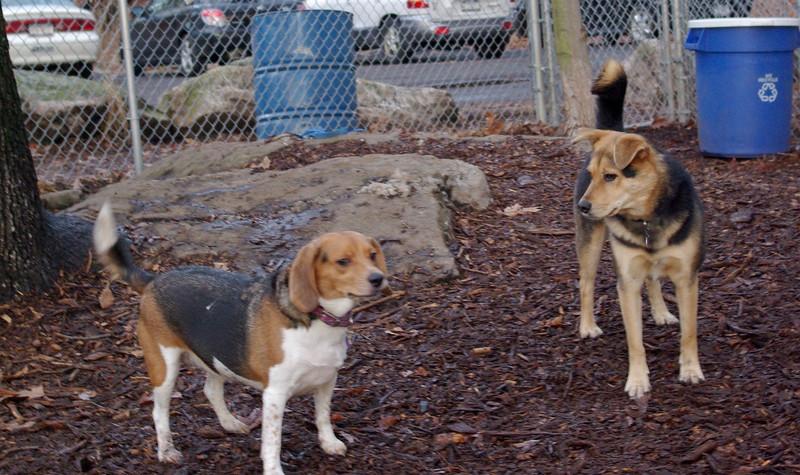 CHELSEA (beagle ), MADDIE.