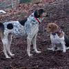 CALI & CHELSEA (beagle)