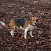 CHELSEA (beagle)