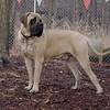 ROCKY (english mastiff PUP )