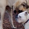 SPOT (bulldog), ROCKY (eng. Mastiff pup)