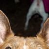WHOSE EARS