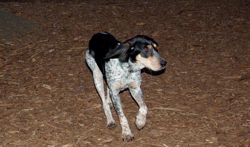 RUBY (blue tick coonhound) months old