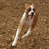 BUBBA (boxer pup)