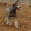TRUMAN (grey poodle)
