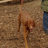 Vizsla (what name)