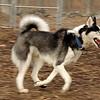 MAX (husky)