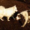 BRANDY & DUMBO (bubba) american eskimo)