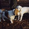 LUCKY (first time) , MACK (bassett hound)