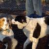 MACK (bassett), MARLY (boy pup)