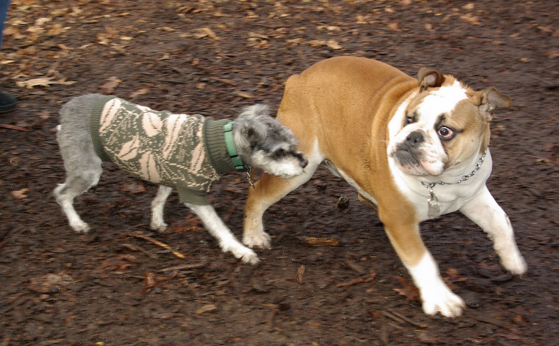 MINNIE & TANK (bulldog) 2