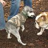 MINNIE & TANK (bulldog)
