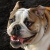 TANK (bulldog pup)