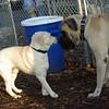 Yellow Lab Pup & Rocky (eng  mastiff)