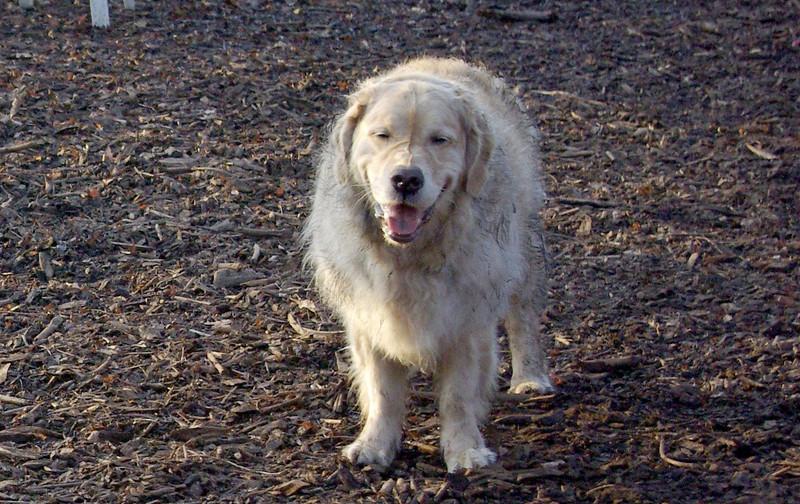 BAILEY (old retriever) 2