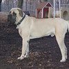 ROCKY (eng  mastiff pup)
