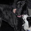 marley (boy pup), HARLEY 9great dane)