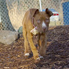 MOCHA (pittbull pup) 2